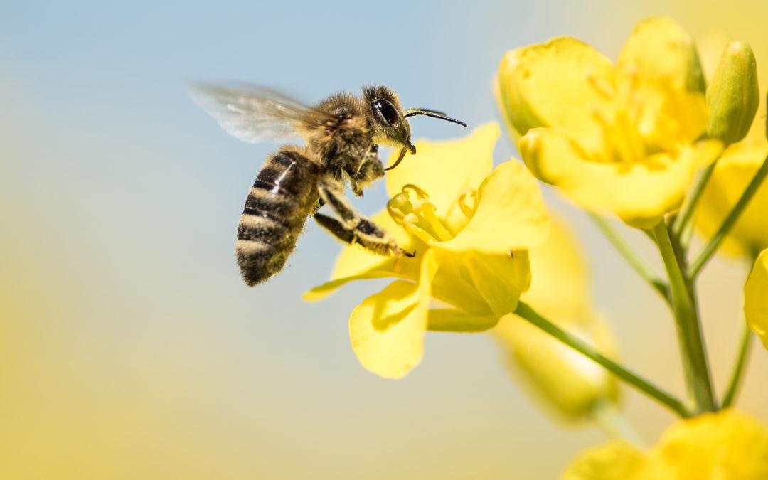 Bonne nouvelle pour les abeilles