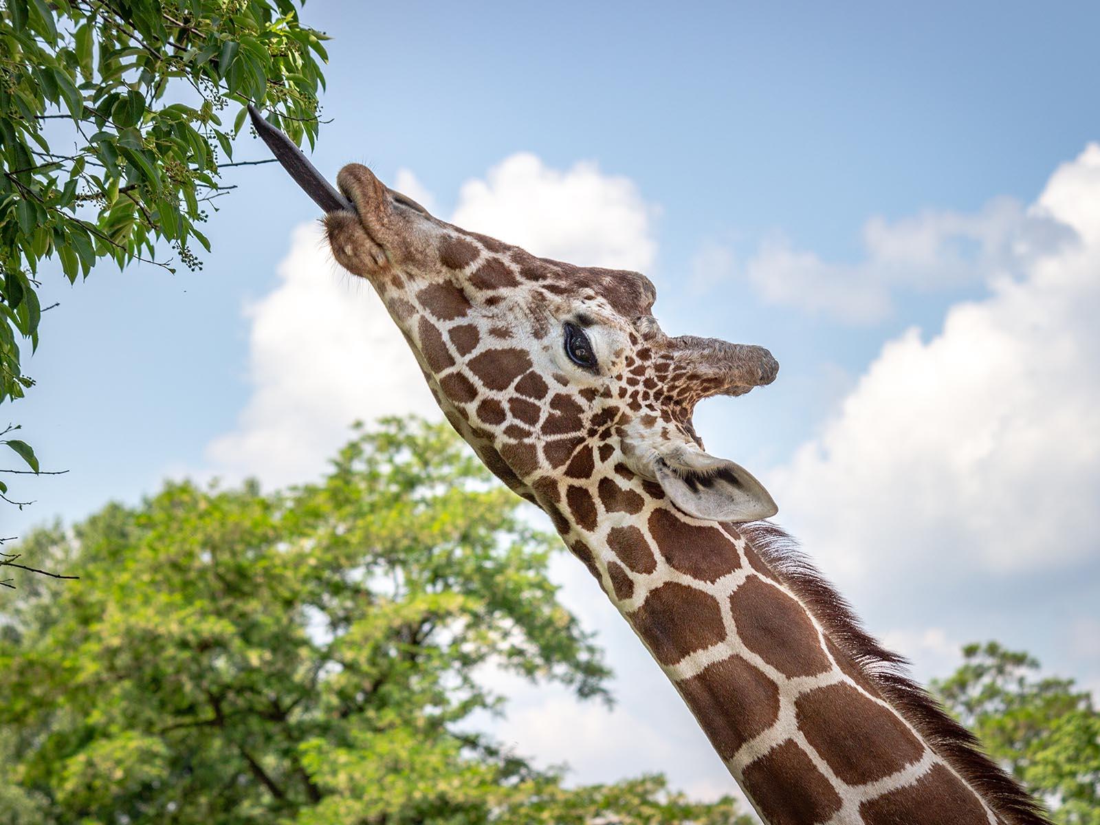 sauver les girafes