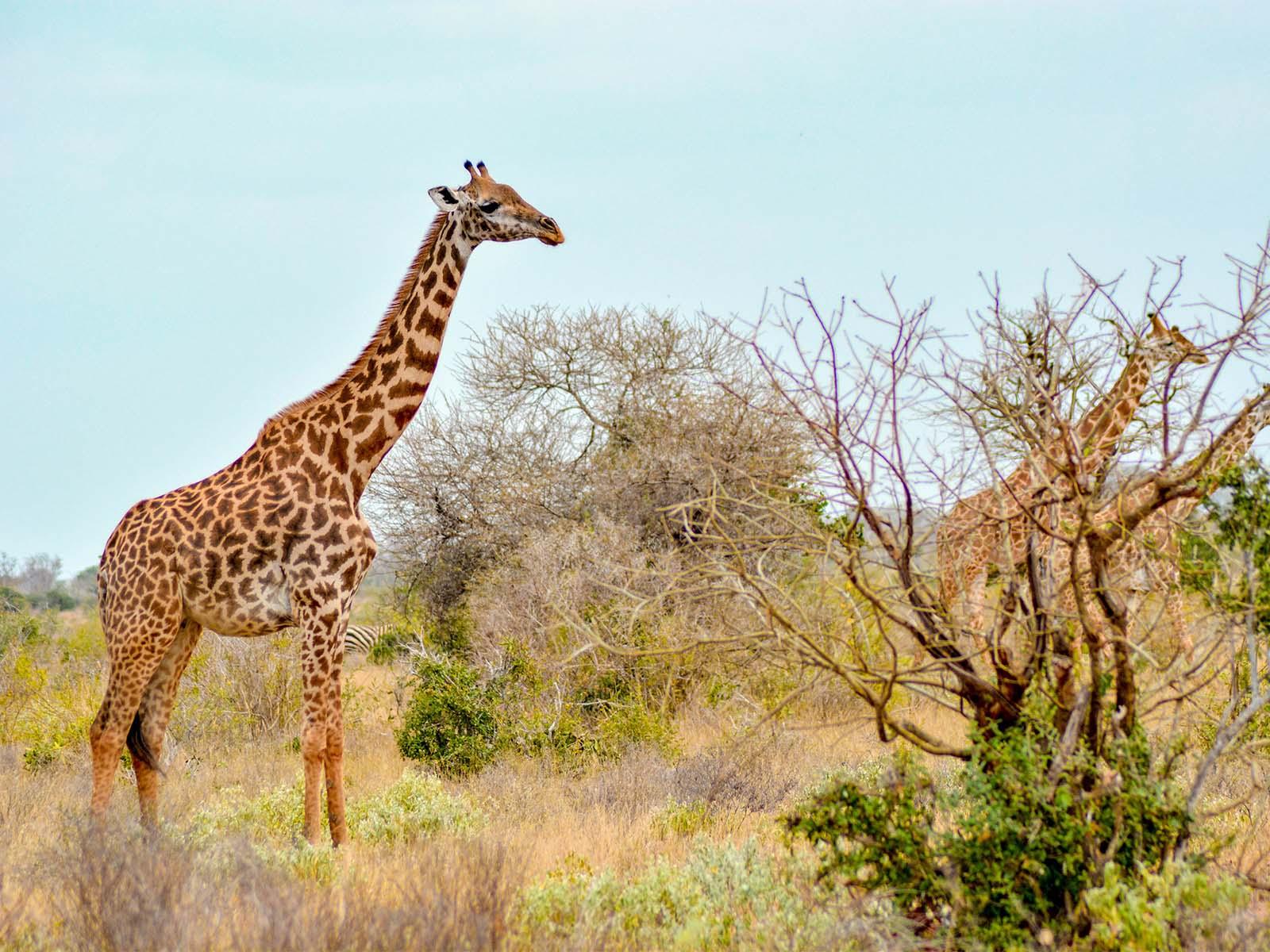 troupeau girafes